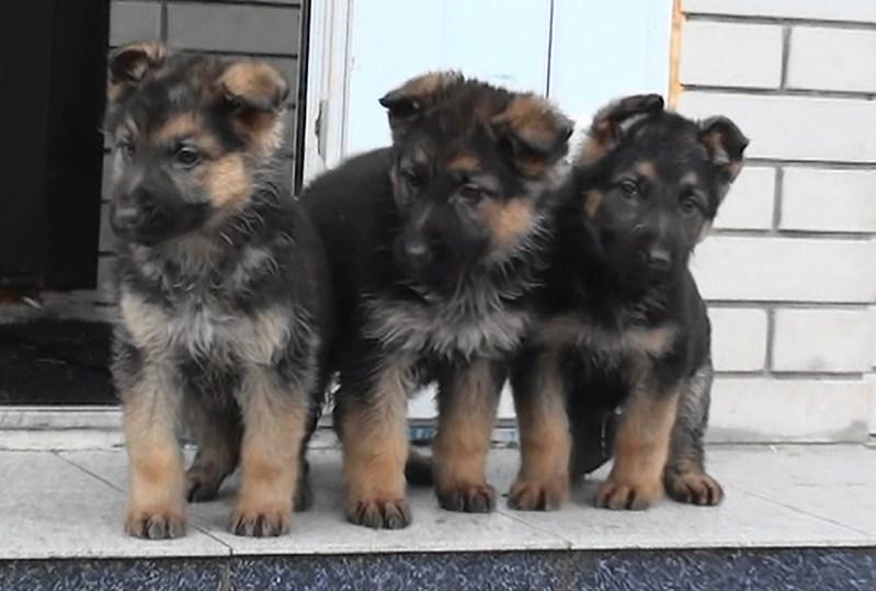 фото: Породистые щенки немецкой овчарки.