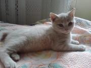 Продам шотландских вислоухих и прямоухих котят. Житомир.