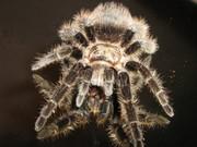 продам паука птицееда