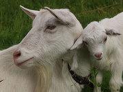 Продам козу дійну білу безрогу (шута)