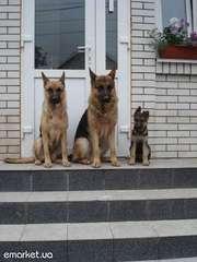 продам породистого щенка немецкой овчарки