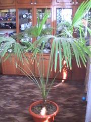 Пальма веерная,  крупная.