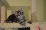 Крупные котята мейн кун из питомника