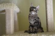 Мейн кун котята. Питомник Amerkun