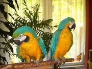 милые и говорить синий и золотой,  попугаи ара для повторного самонаве
