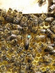 Пчёлы.Пчелопакеты.Пчелиные плодные матки.Карпатка.