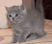 Продам чудесных британских котят