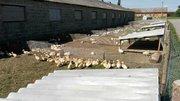 Сільськогосподарське підприємство реалізує качок